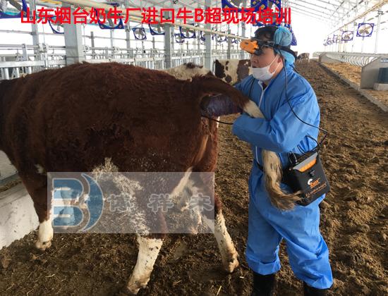 烟台进口牛用B超培训1