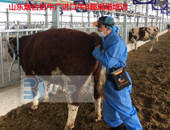 烟台进口牛用B超培训3