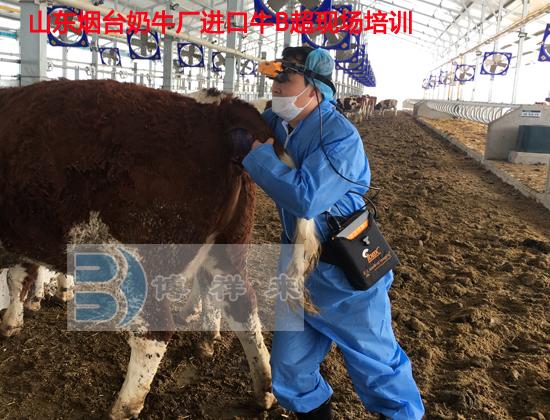烟台进口牛用B超培训4